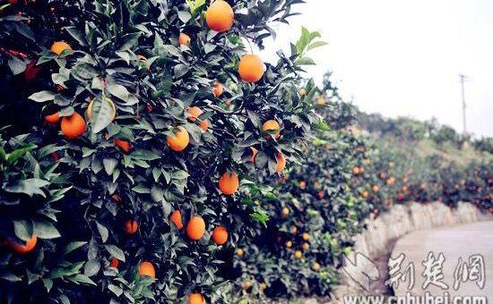 """""""秭归脐橙""""被国家工商总局认定为中国驰名商标"""